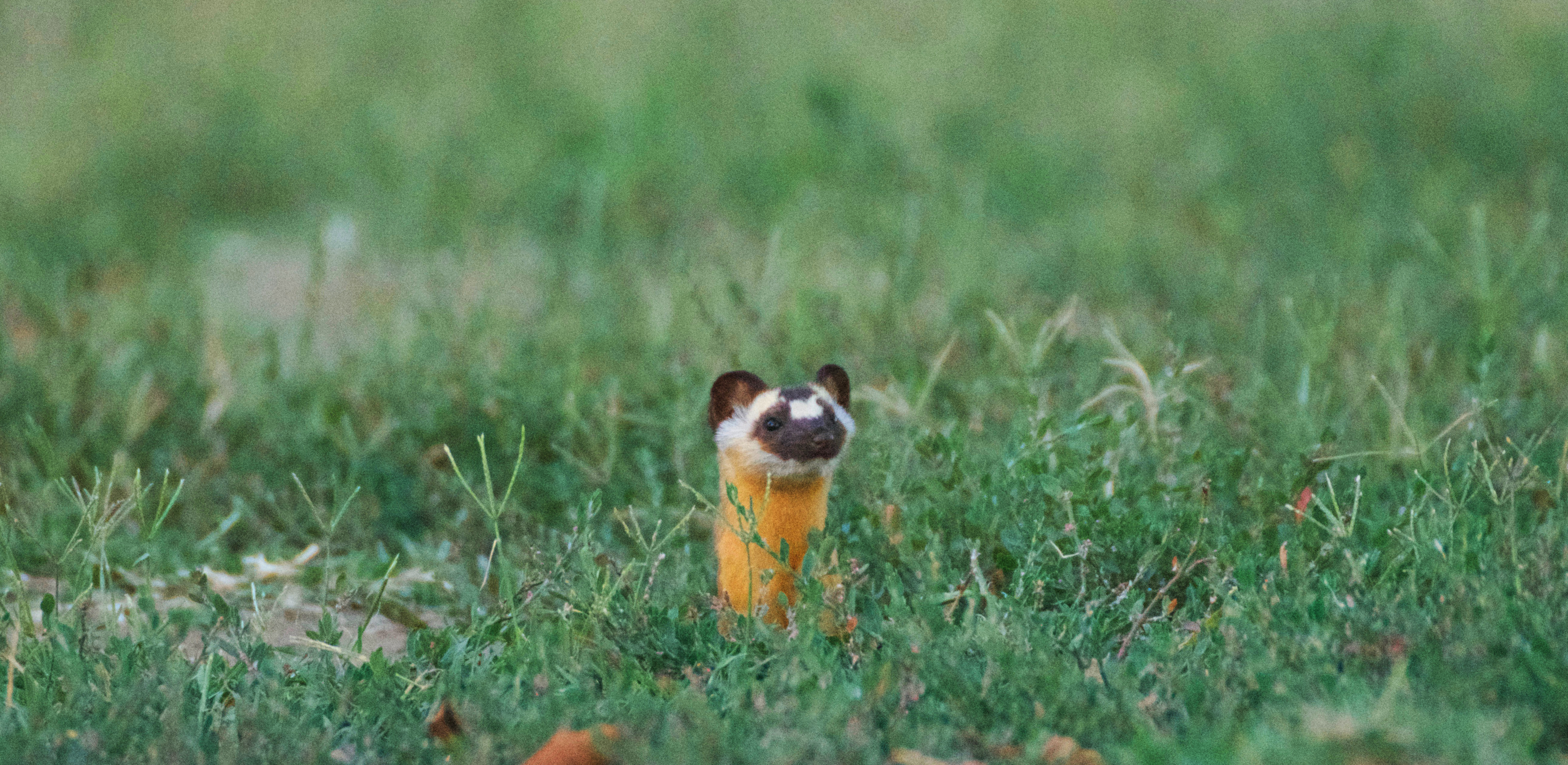 Long-tailed weasel popping its head up out of its hole