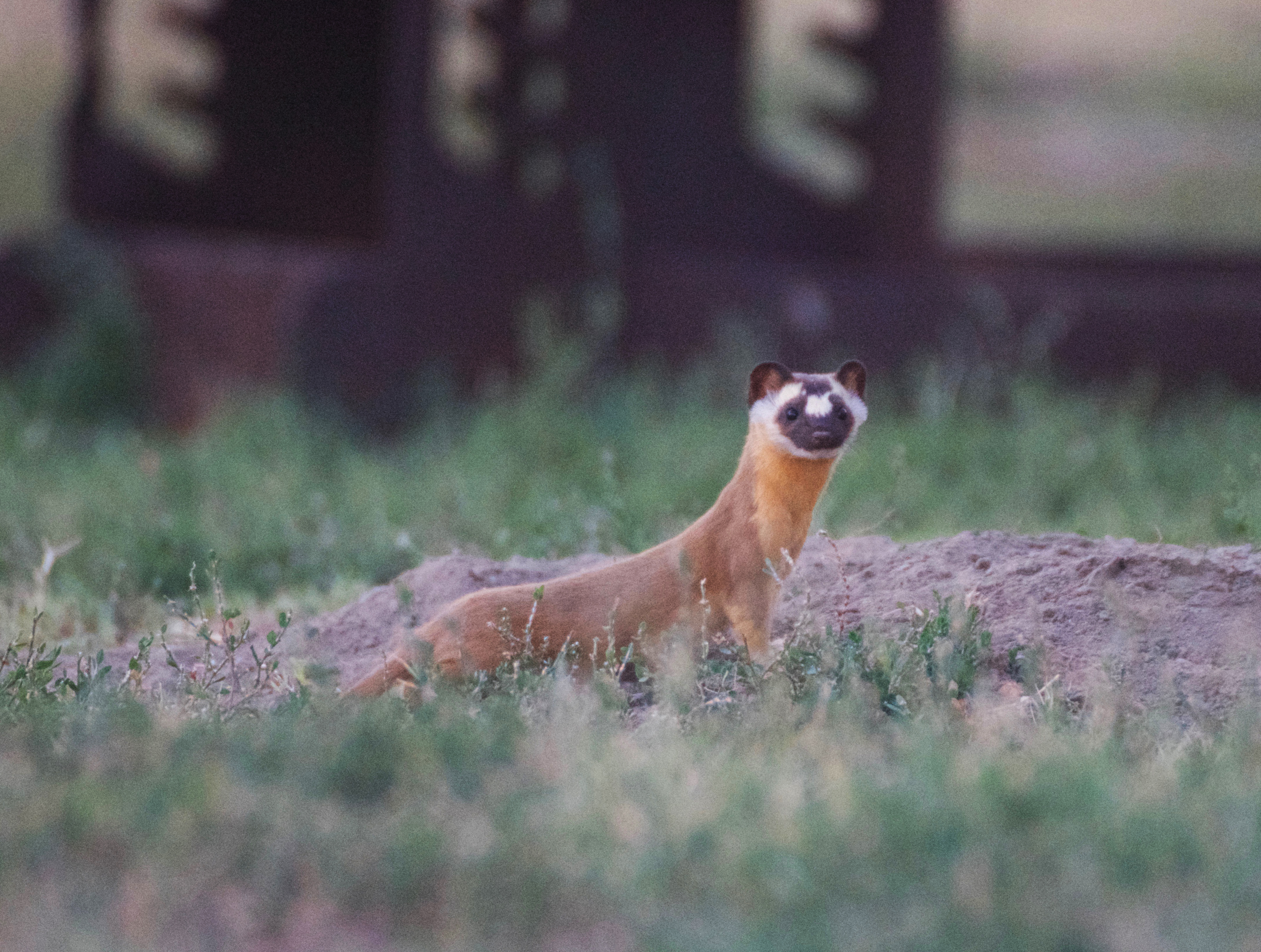 Long-tailed weasel pausing to turn and look at the camera