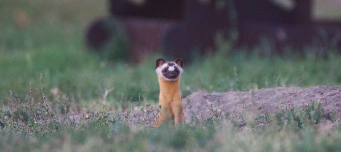 Long-tailed Weasel!