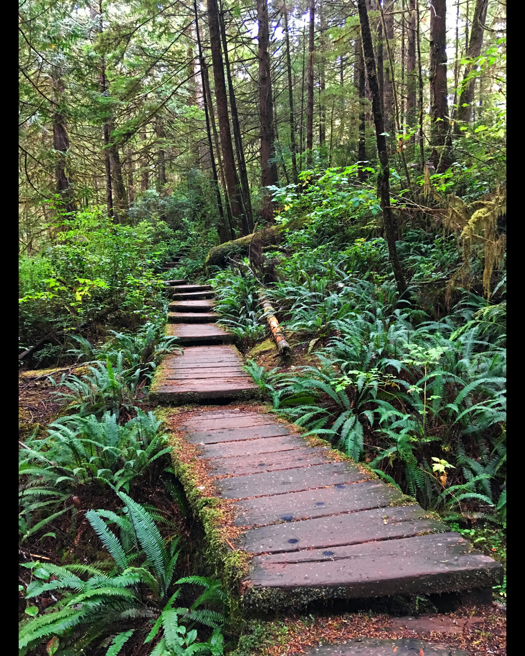 Boardwalk on Cape Alava Trail surrounded by ferns, bright green shrubs and conifers