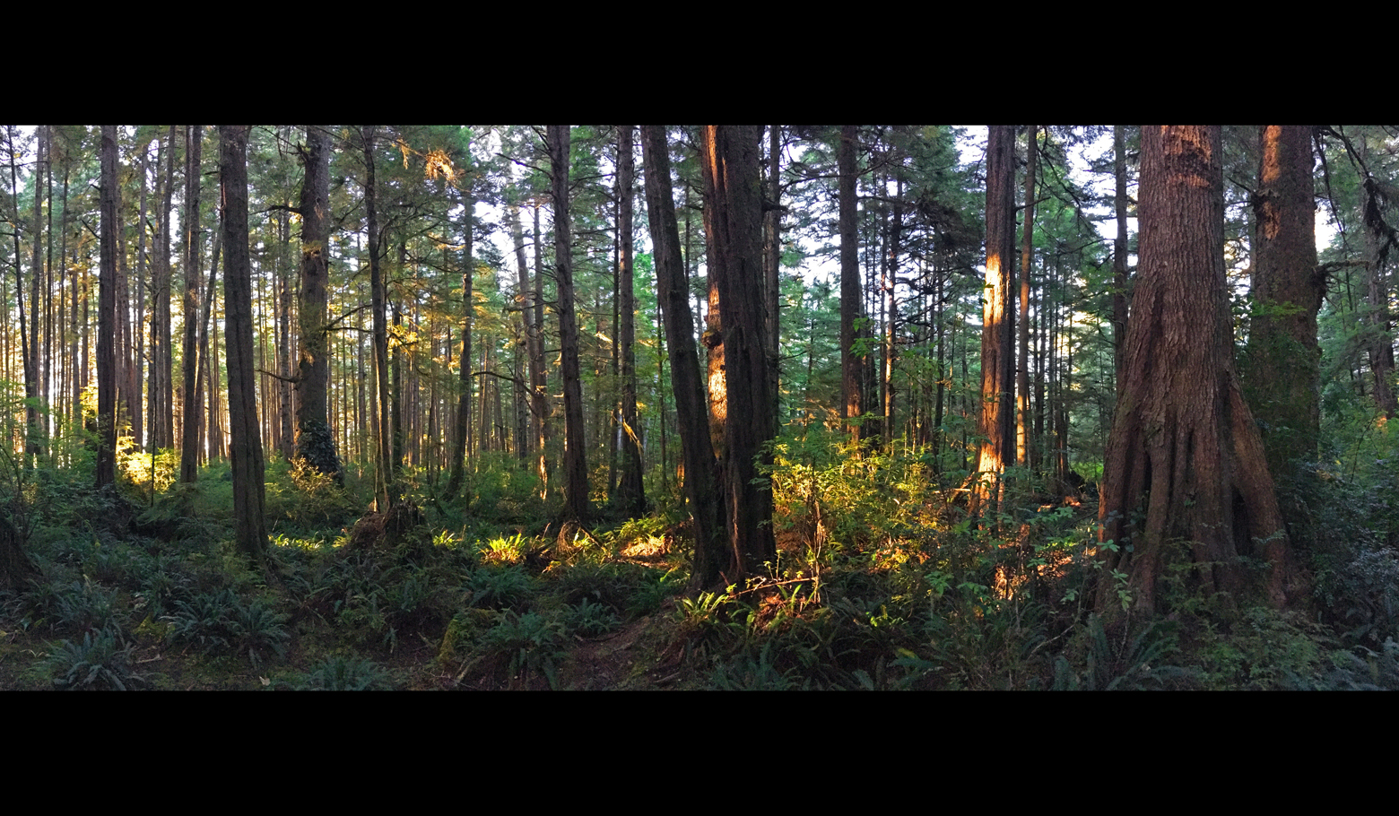Panoramic of the rainforest on Cape Alava with dense conifers and loads of ferns