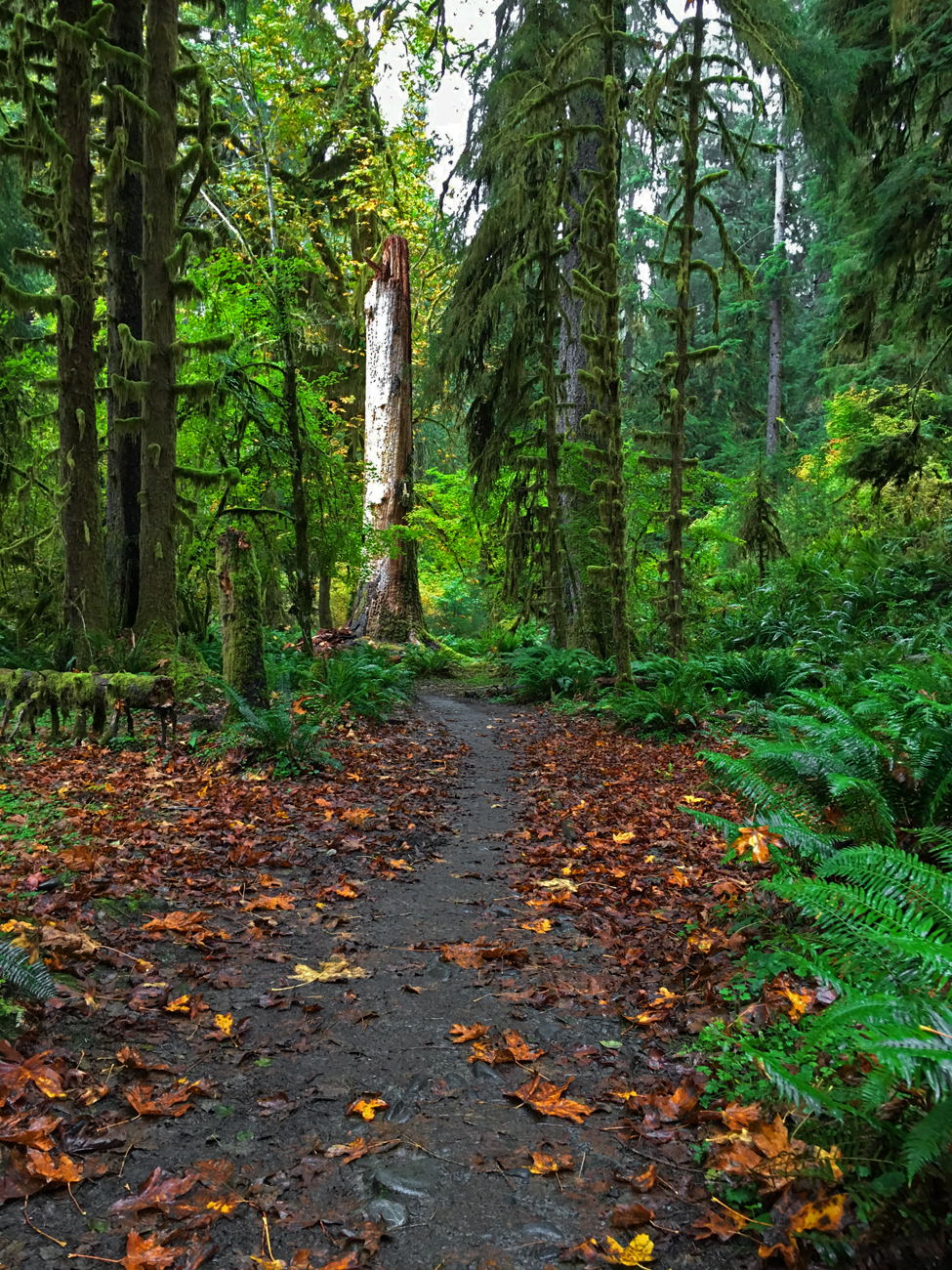 Hoh River Trail with bright green trees, shrubs, and ferns and orange maple leaves lining both sides of the trail
