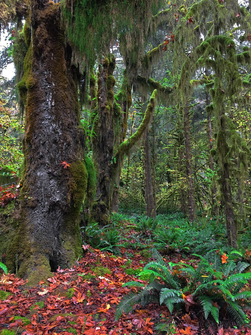 Moss-covered trees, ground covered in orange maple leaves and green ferns in the Hoh