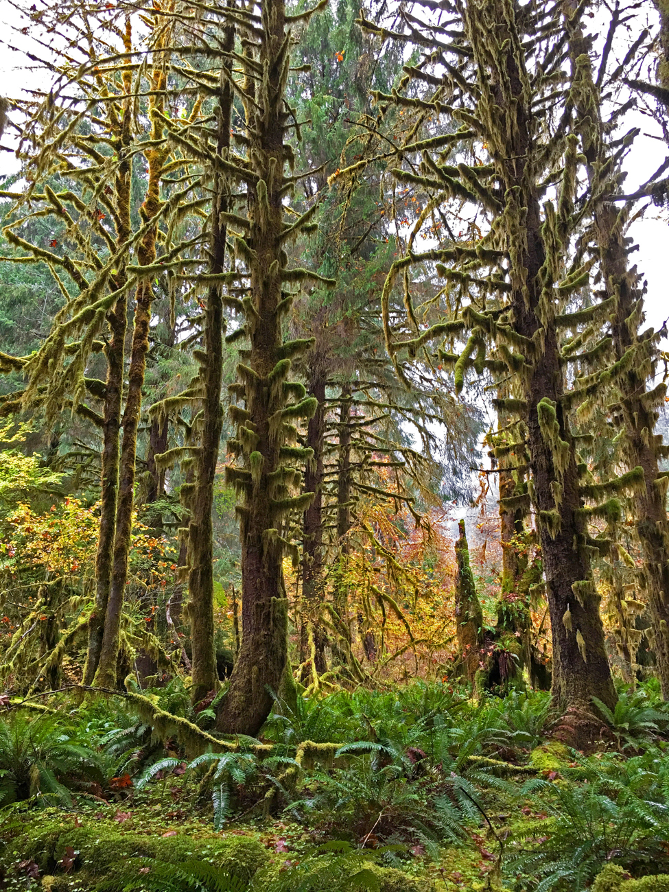 Firs standing tall with moss on their trunks and branches in the Hoh