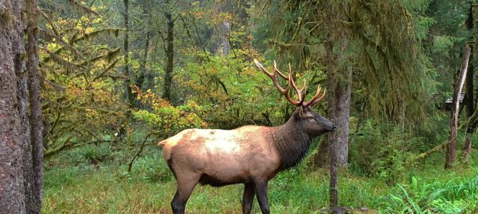Roosevelt Elk in the Hoh Rain Forest