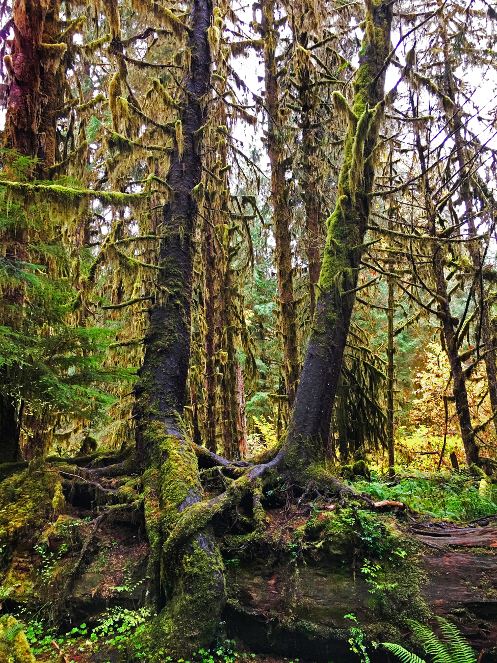 Nurse log with mature trees growing out of it in the Hoh