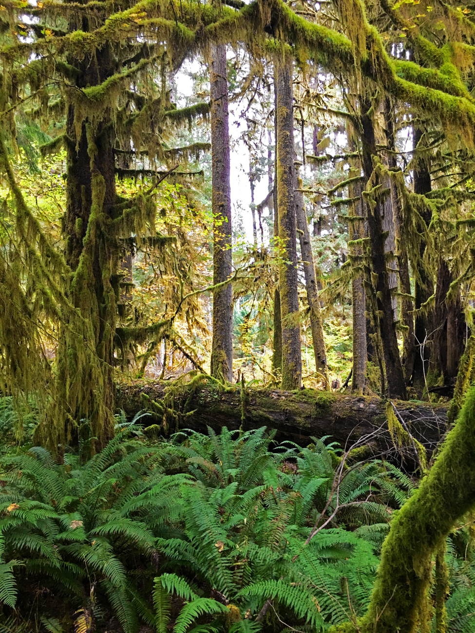 Hoh Rain Forest with trees covered in green mosses and other plants and ferns on the forest floor