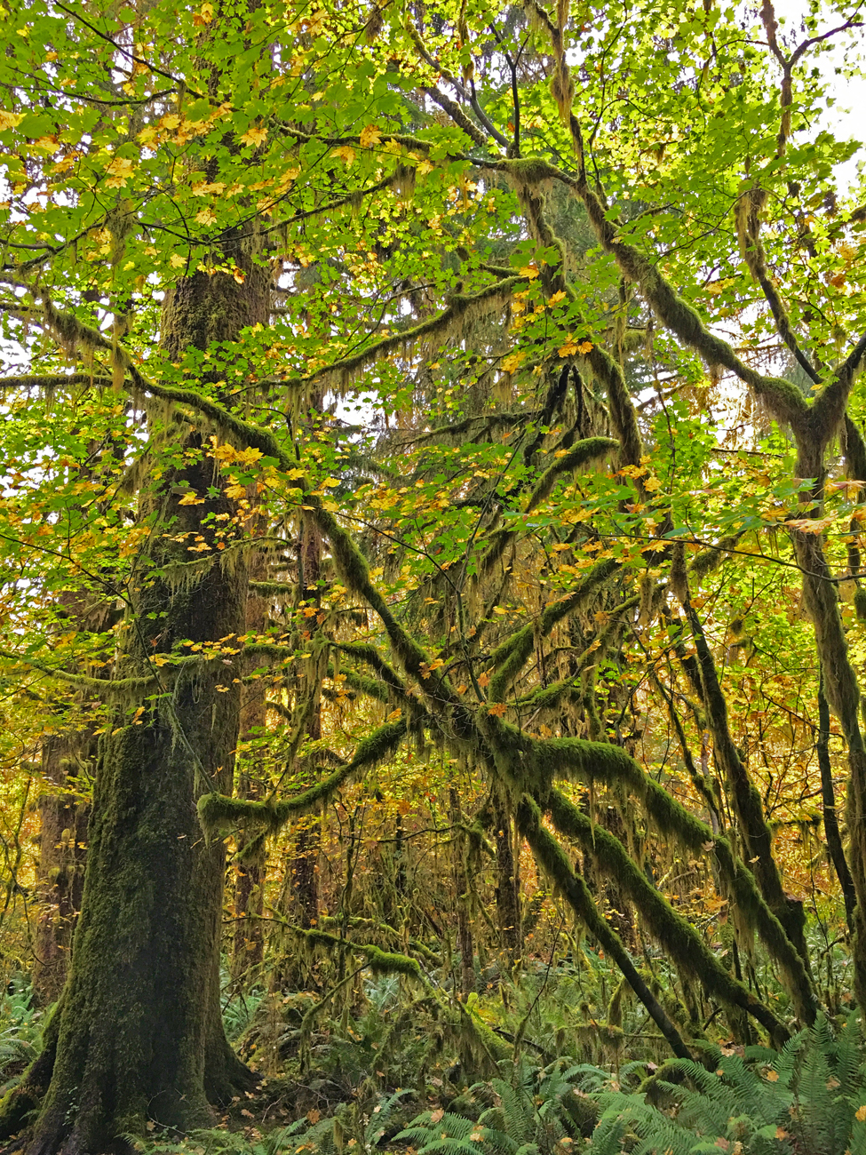 More moss-covered trees with bright green leaves in the Hoh