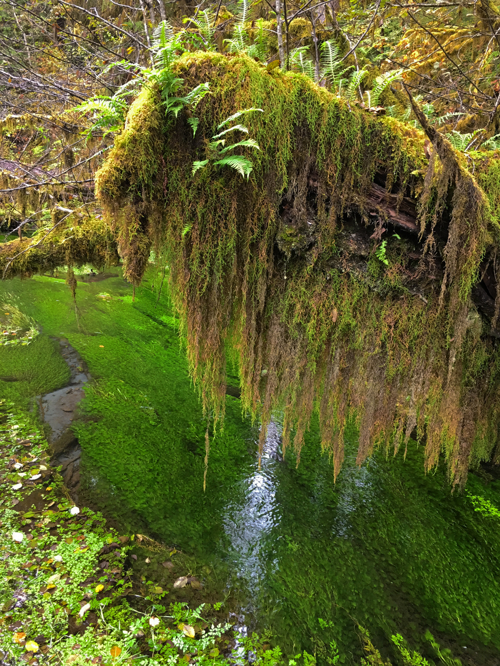 Tree branch dripping with moss and growing ferns hanging over a pond full of green plant life in the Hall of Mosses