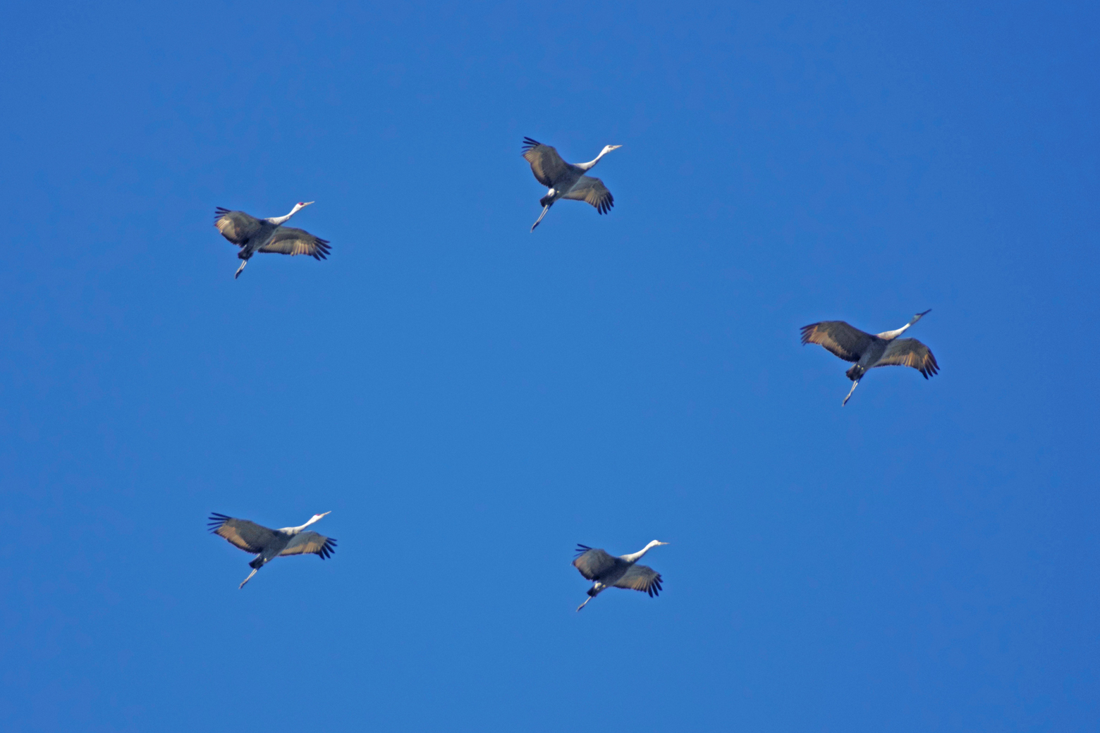 Five sandhill cranes in a pentagon formation in the sky at Ridgefield NWR