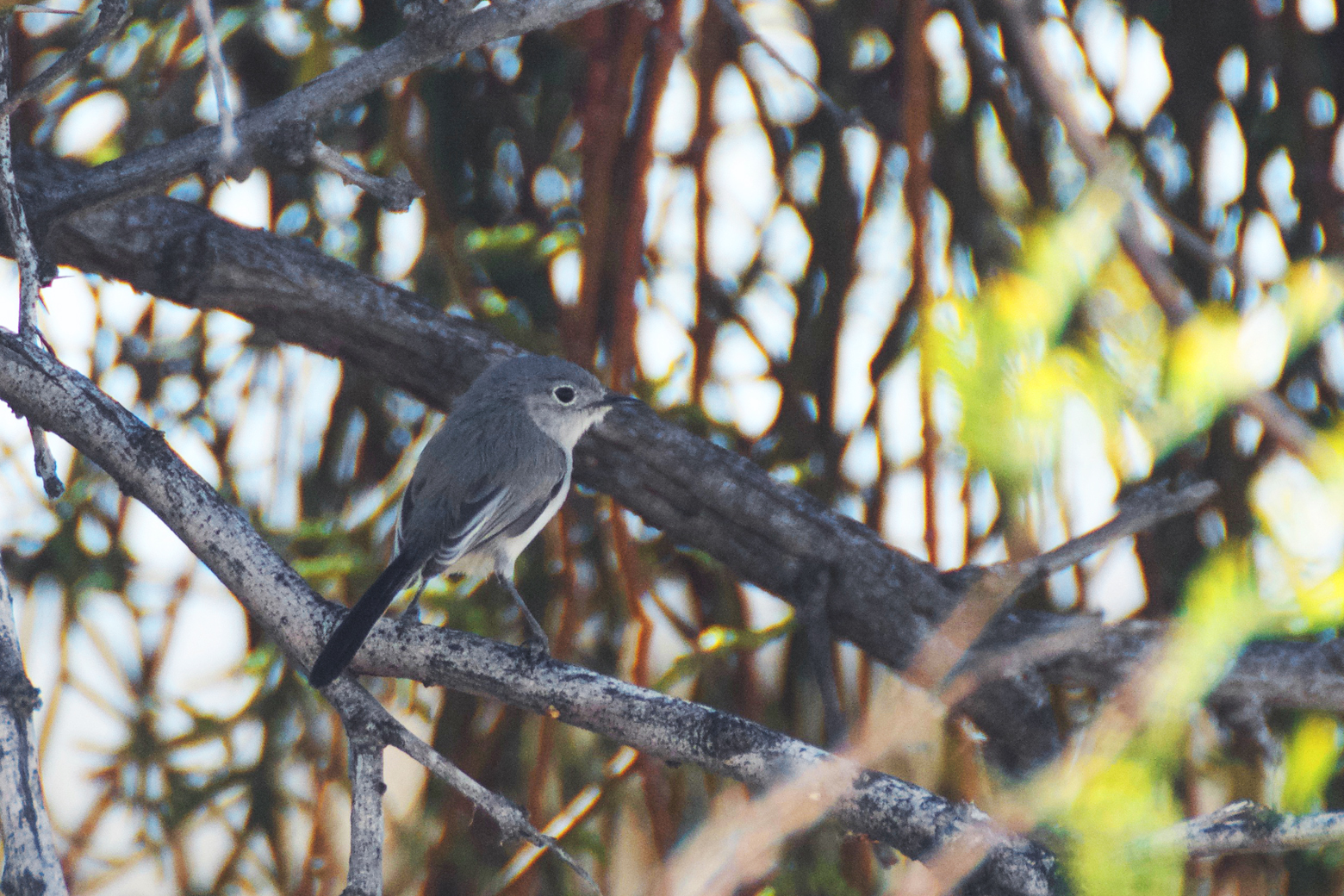 Side view of a black-tailed gnatcatcher perched on a branch