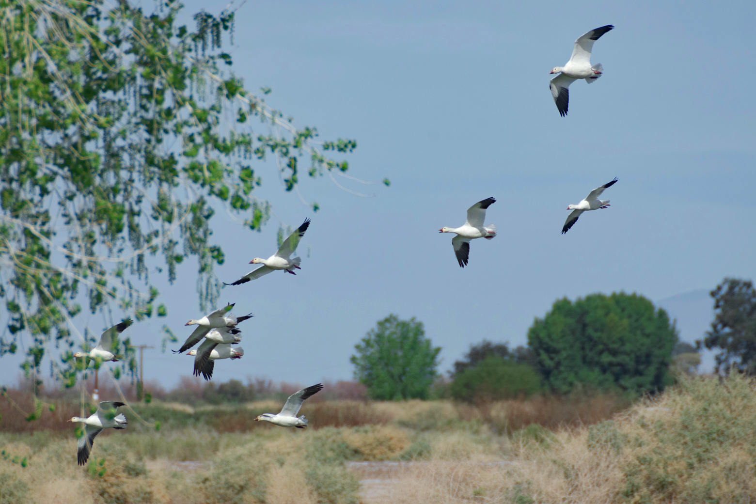 A flock of snow geese flying low over the refuge