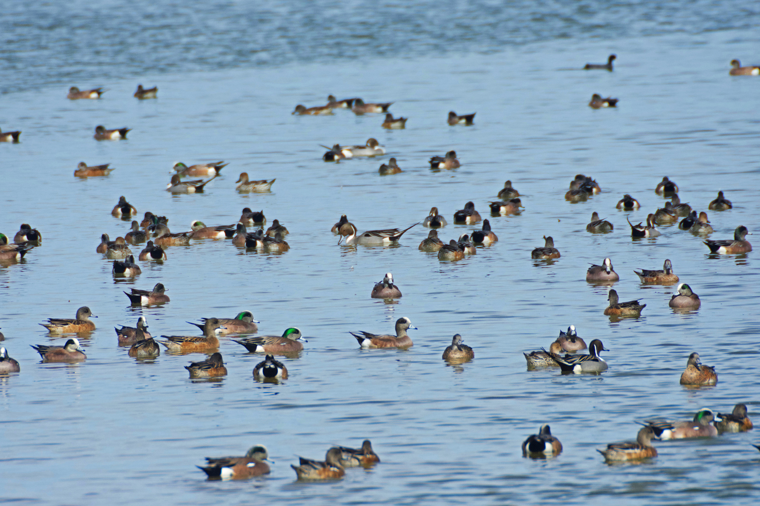 Male northern pintail surrounded by American wigeons and additional pintails in the main wetland at Cibola