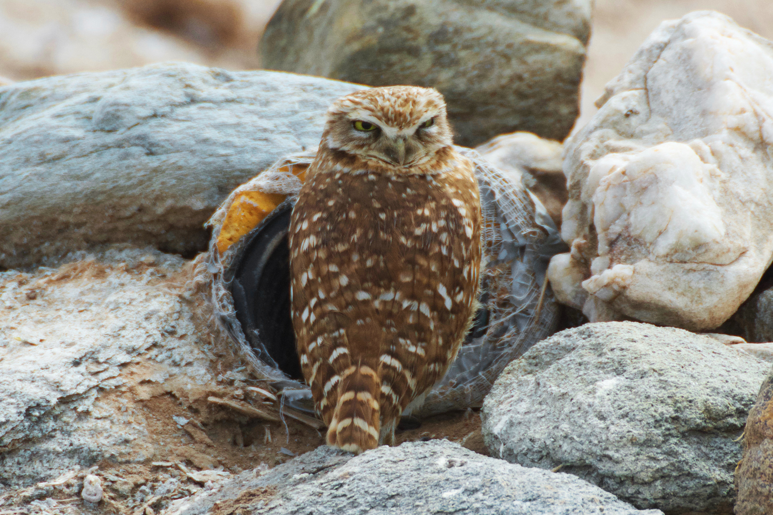 Burrowing owl perched outside of his burrow (a pipe sticking out of rock pile) with his head turned to look at us
