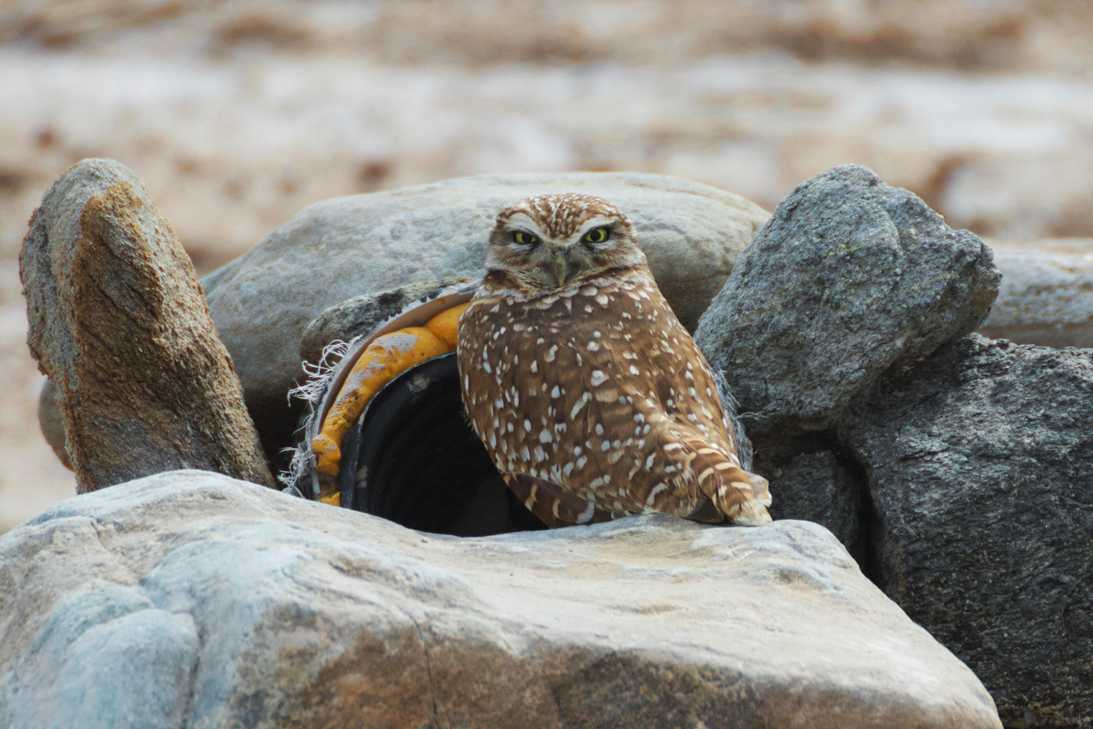 Burrowing owl perched outside of his burrow (a pipe sticking out of rock pile) looking at us