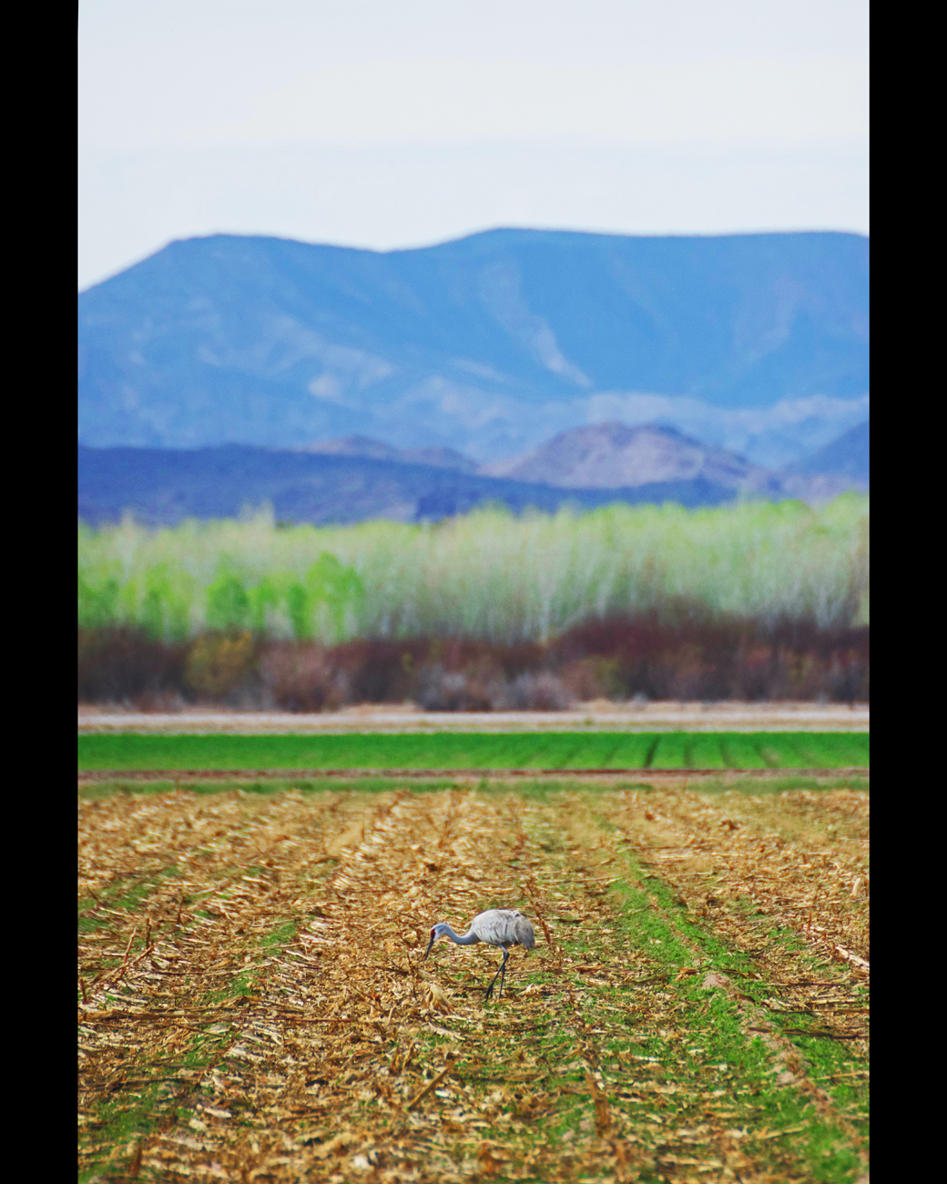 Sandhill crane feeding in an agricultural field with mountains in the background at Cibola