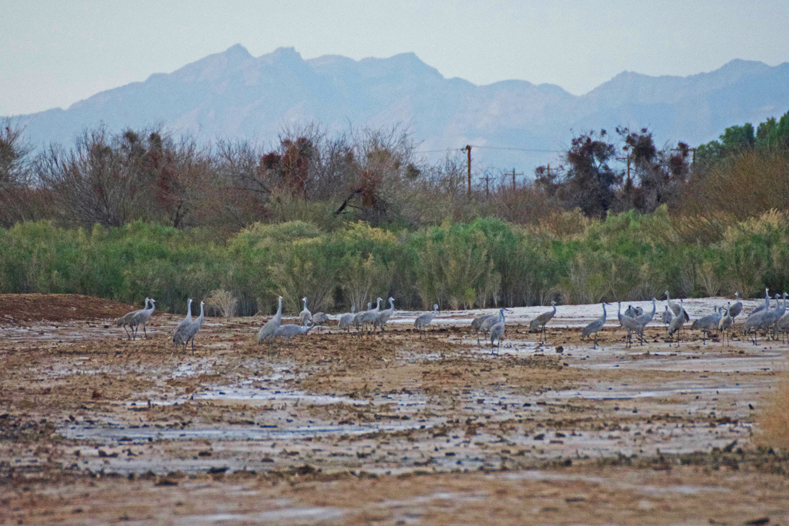 Sandhill cranes standing on a mudflat near the pond at Cibola
