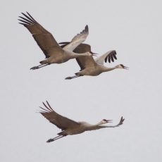 Sandhill Cranes at Cibola National Wildlife Refuge