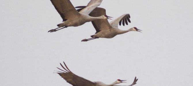 Sandhill Cranes at Cibola National Wildlife Refuge