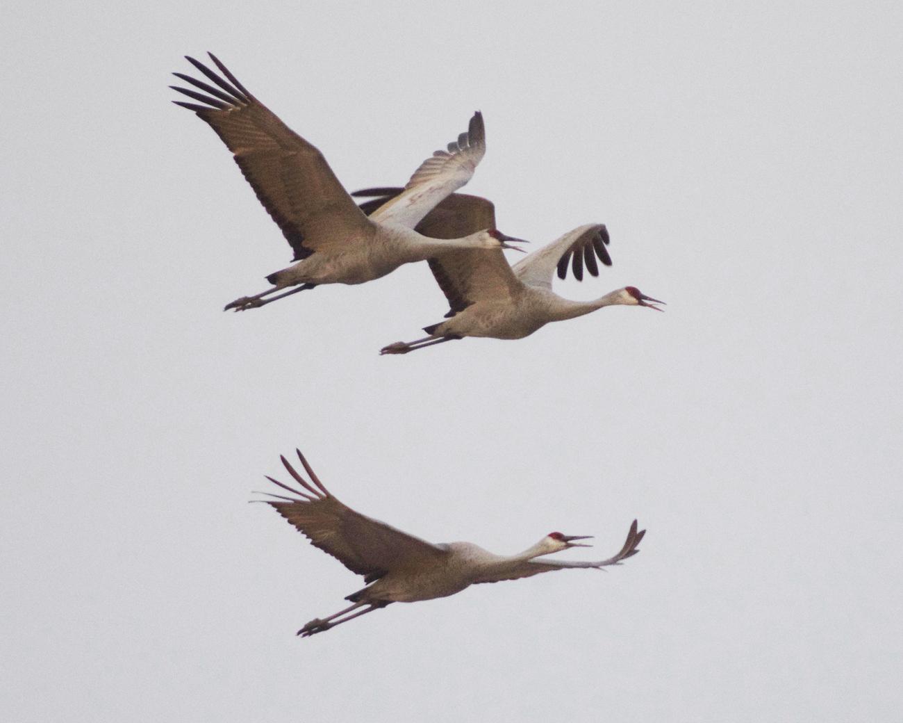 Three sandhill cranes up-close flying at Cibola