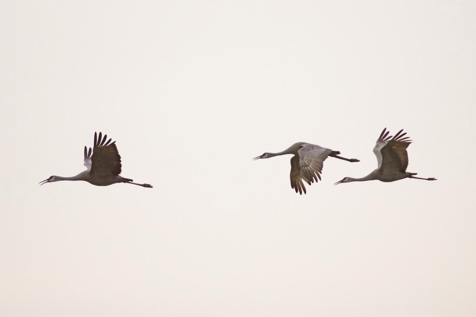 Three sandhill cranes flying at Cibola
