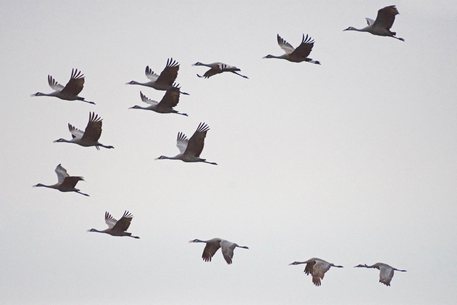Flock of sandhill cranes flying at Cibola