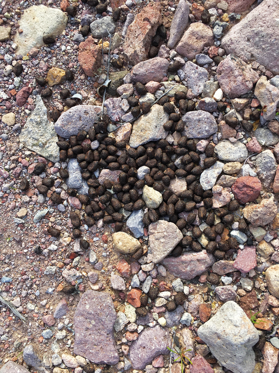 "Bighorn sheep scat (many ""pebbles"") on the rocky trail at Kofa"