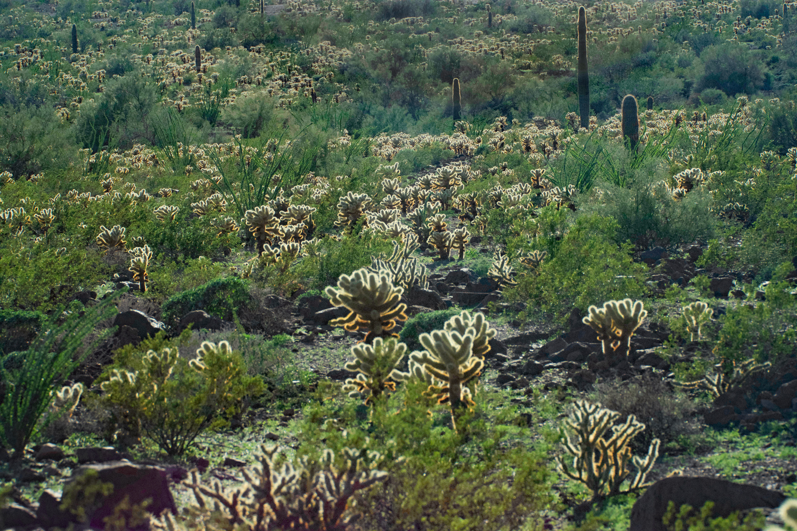"View of a section of the desert at Kofa NWR with a dense stand of ""Teddy Bear"" Cholla cacti"