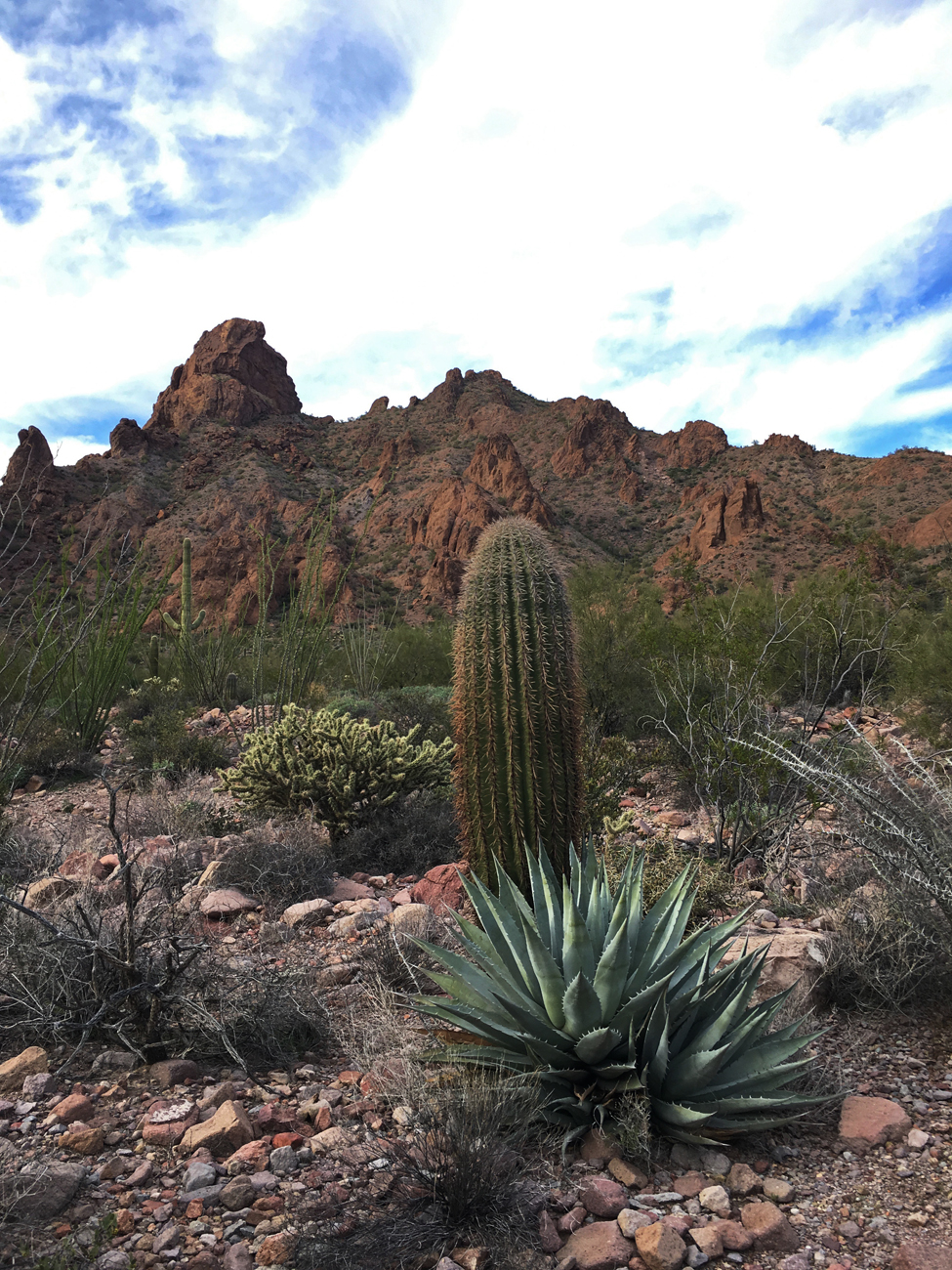 Agave and cacti in Kofa Queen Canyon