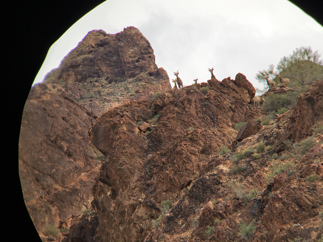 View through Michael's binoculars of the ewes and kids on top of the cliff at Kofa