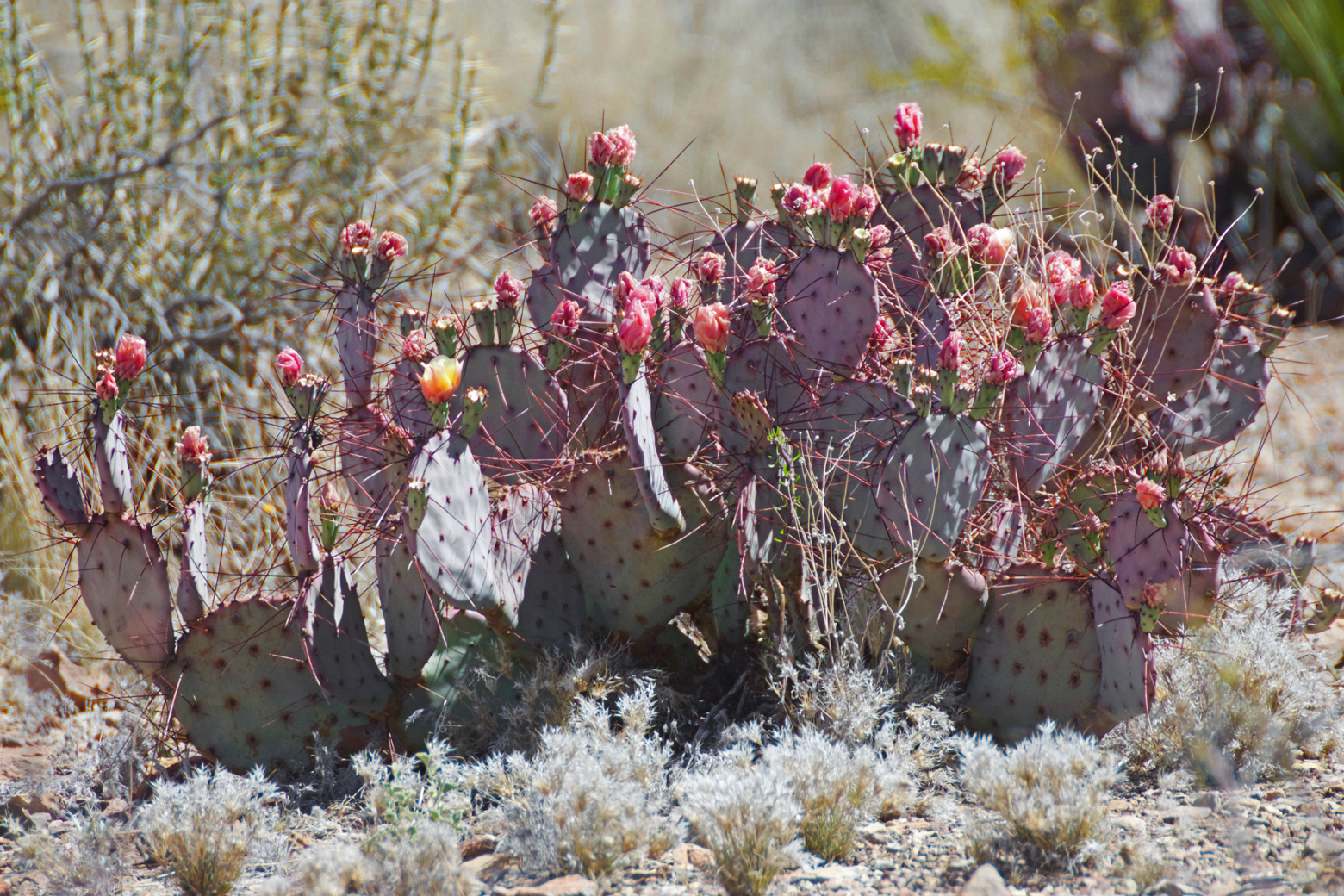 A species of prickly pear cactus in bloom on the trail to Mule Ears Spring in Big Bend National Park