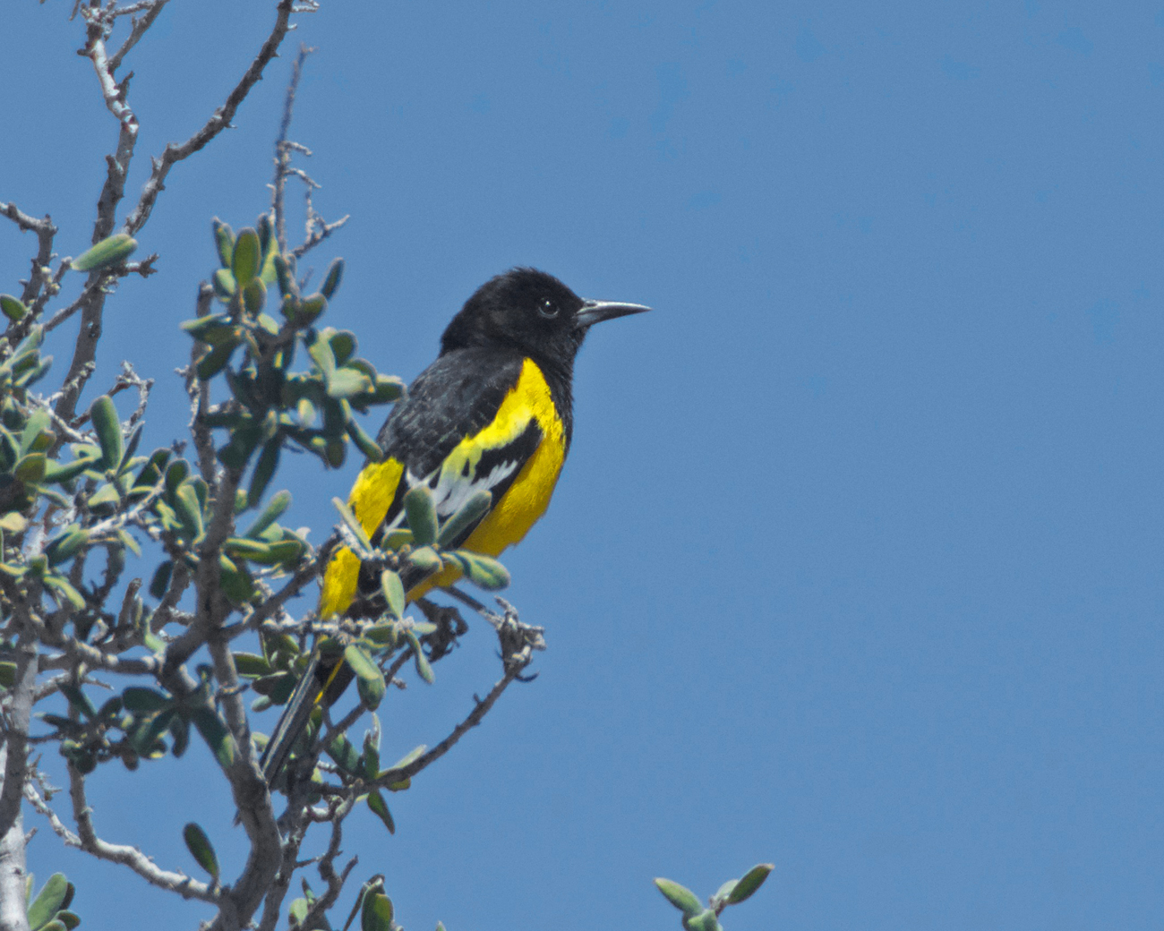 Scott's oriole, a bright yellow and black bird, perched on a desert shrub in Big Bend National Park