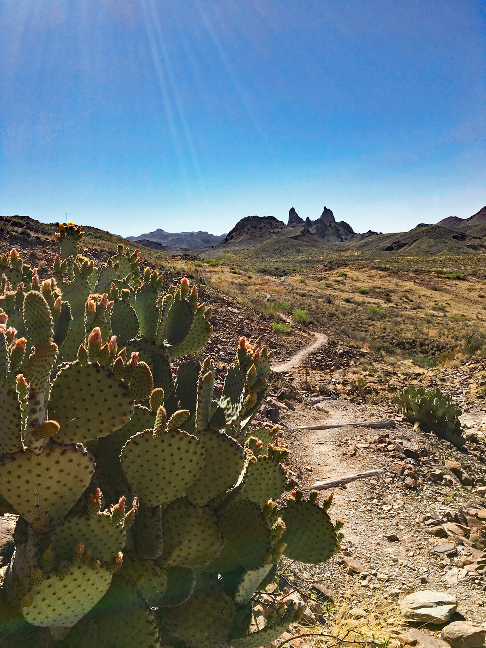The trail to Mule Ears Spring with a species of prickly pear cactus in the foreground and the Mule Ears rock formation in the distance in Big Bend National Park