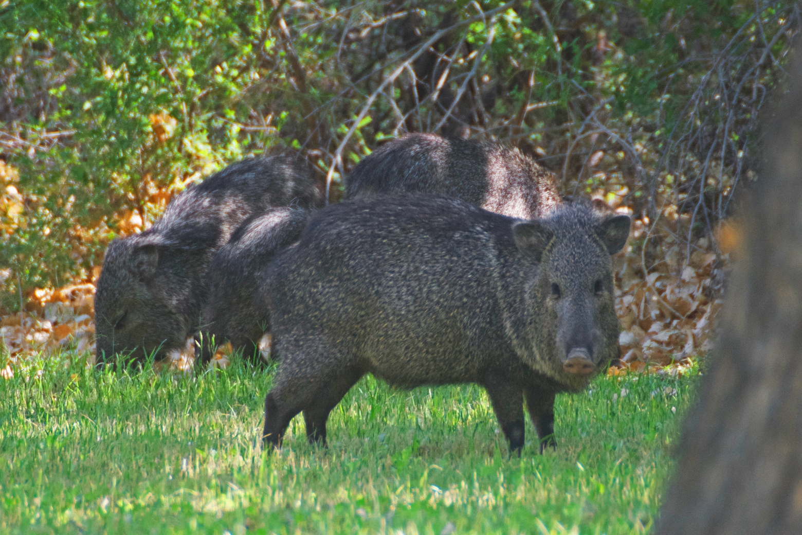 Javelina looking into the camera at Daniels Ranch Picnic Area