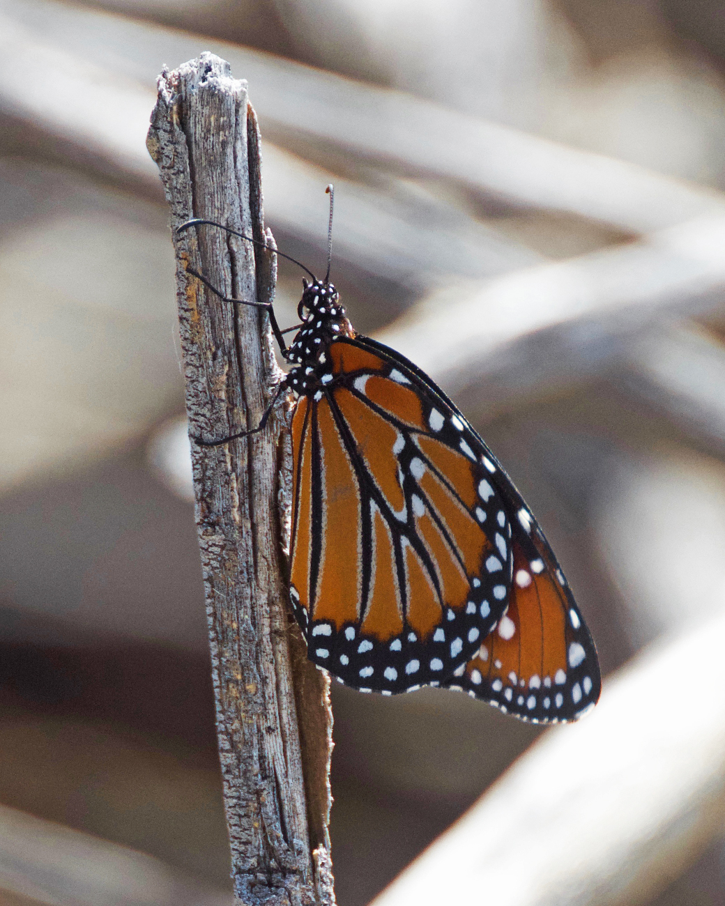 Queen Butterfly (a species of Monarch) at Daniels Ranch