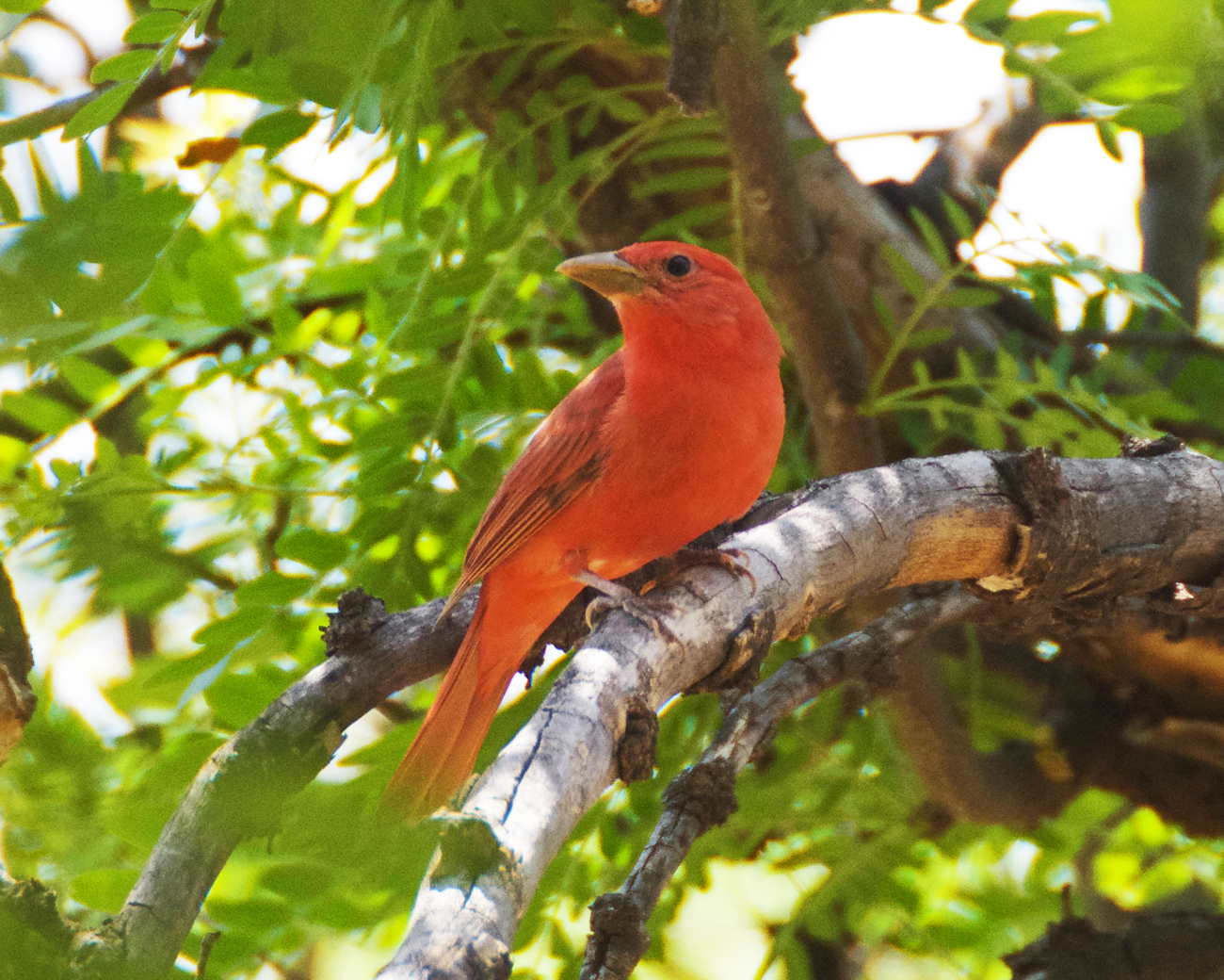 Bright red summer tanager perched on a tree branch at Daniels Ranch