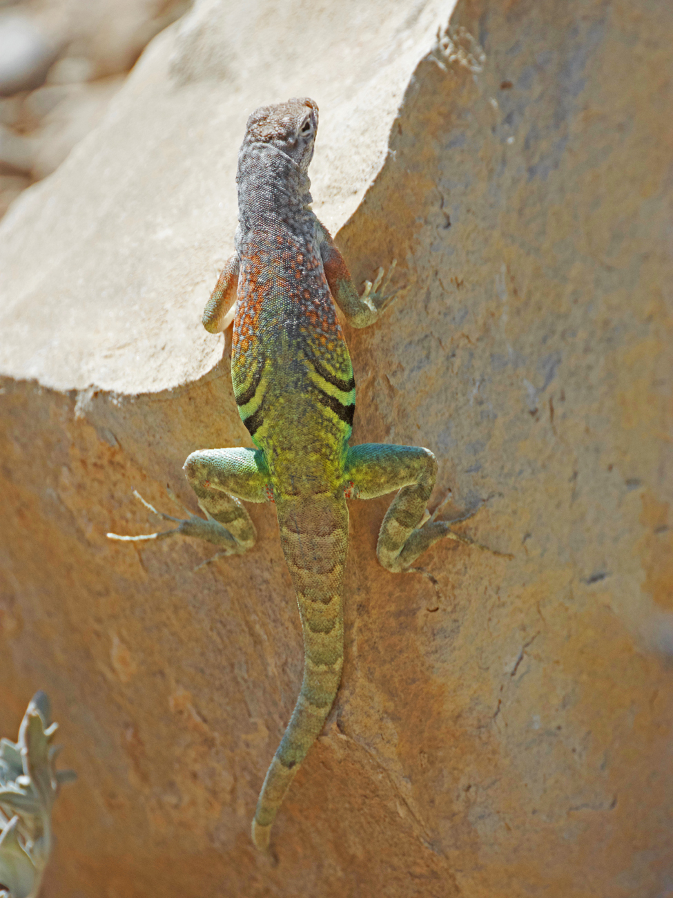 View of the back of a greater earless lizard clinging to a rock on the Ernst Tinaja trail in Big Bend National Park