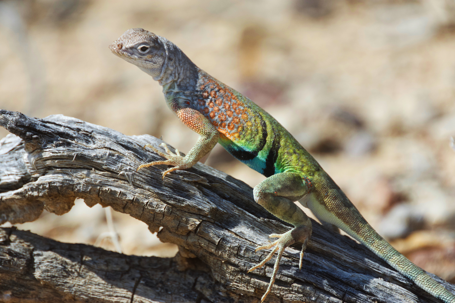 Brightly colored greater earless lizard posing on a branch in Big Bend National Park