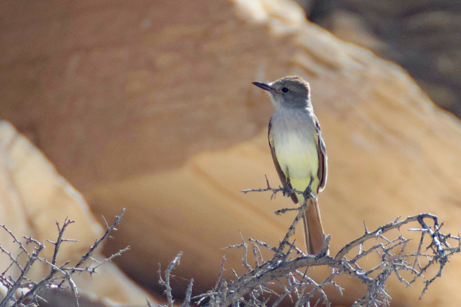 Ash-throated flycatcher perched on a branch in the canyon of Ernst Tinaja in Big Bend National Park