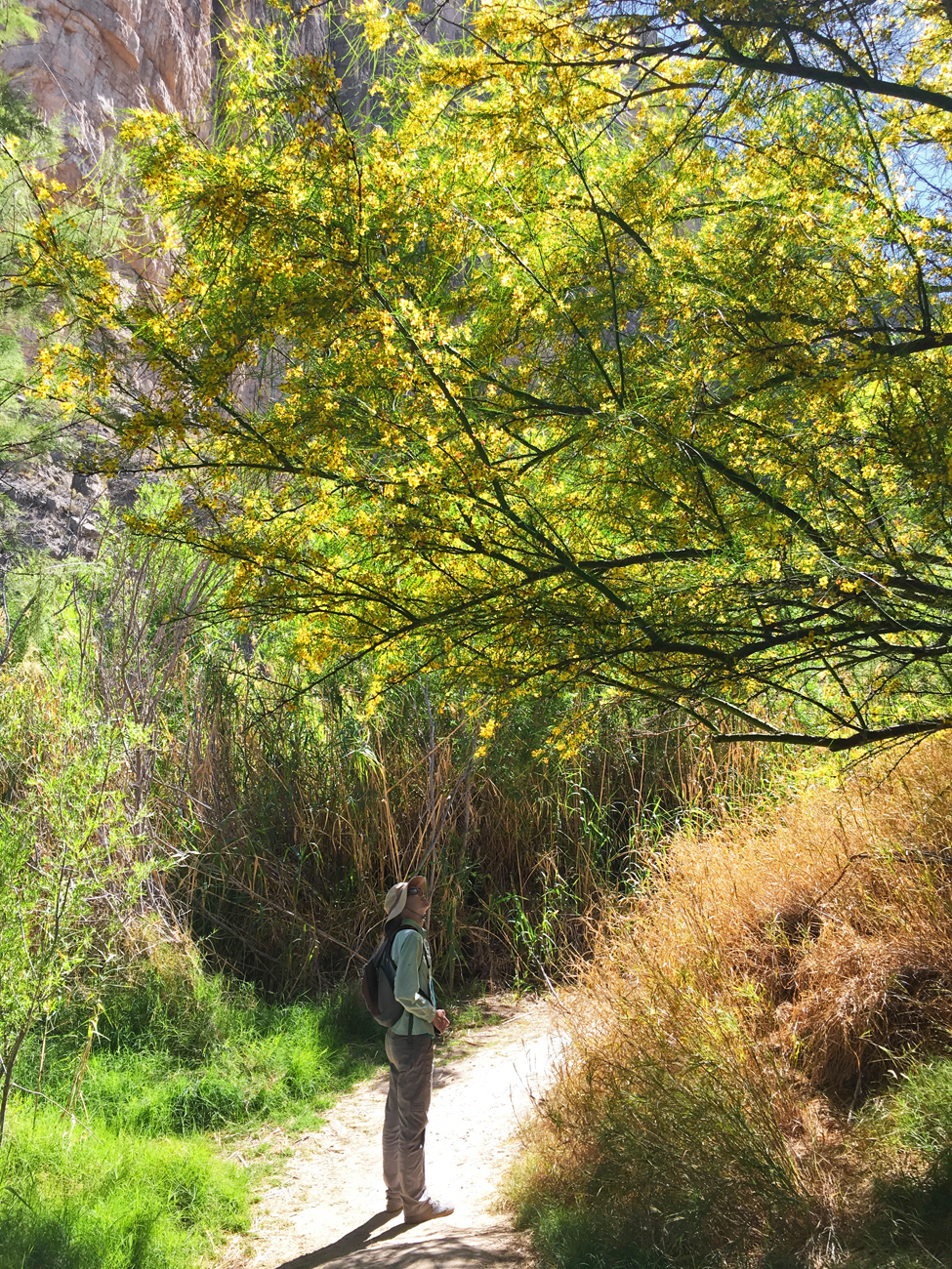 Christina peering up into a blooming Palo Verde on the Santa Elena Canyon Trail