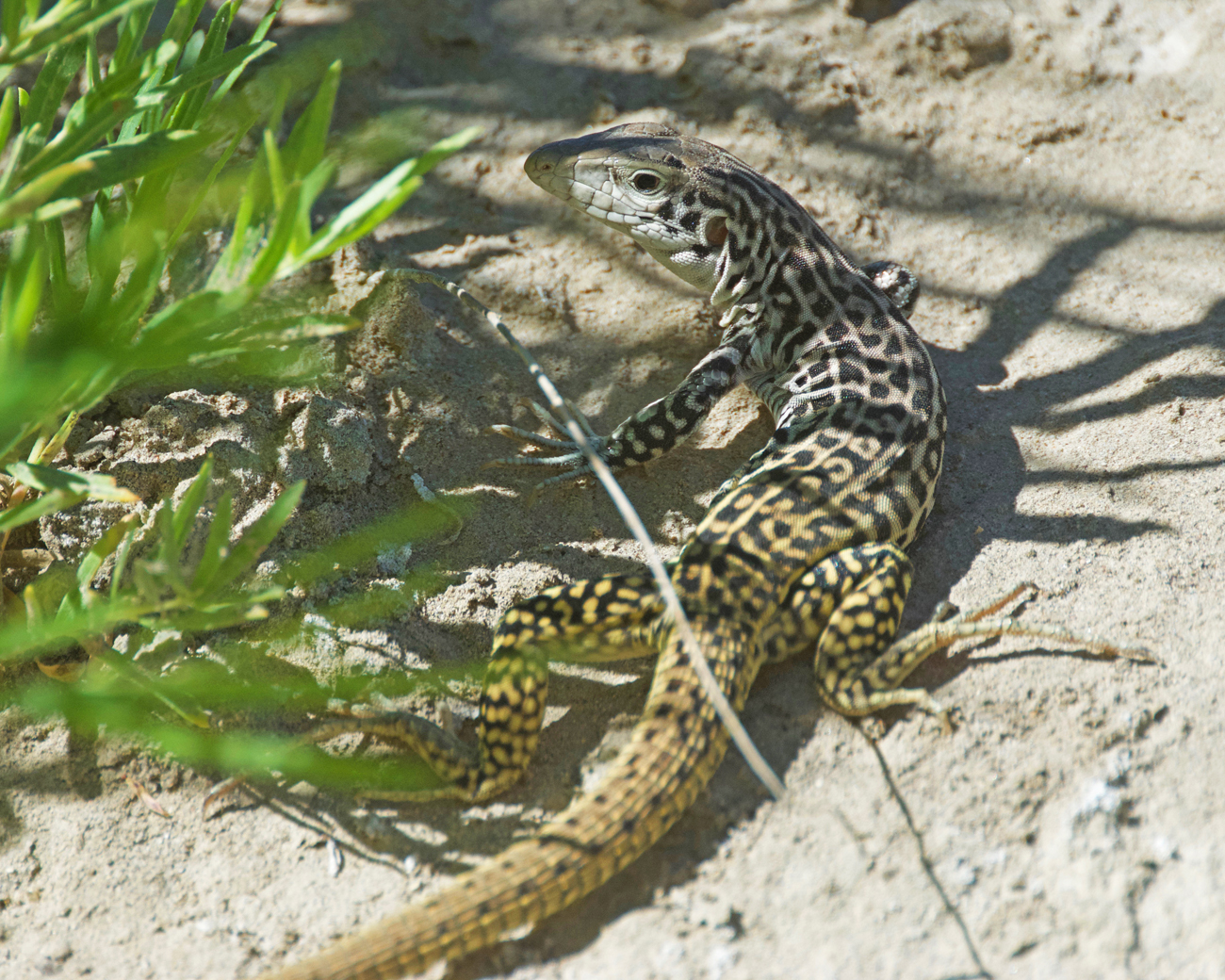 Whiptail (leopard-spotted lizard with a long tail) on the Santa Elena Canyon Trail